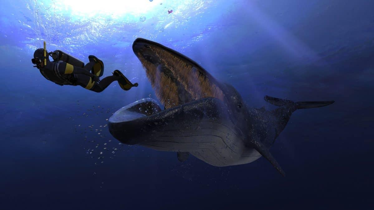 Taucher von Buckelwal verschluckt: Mann überlebt