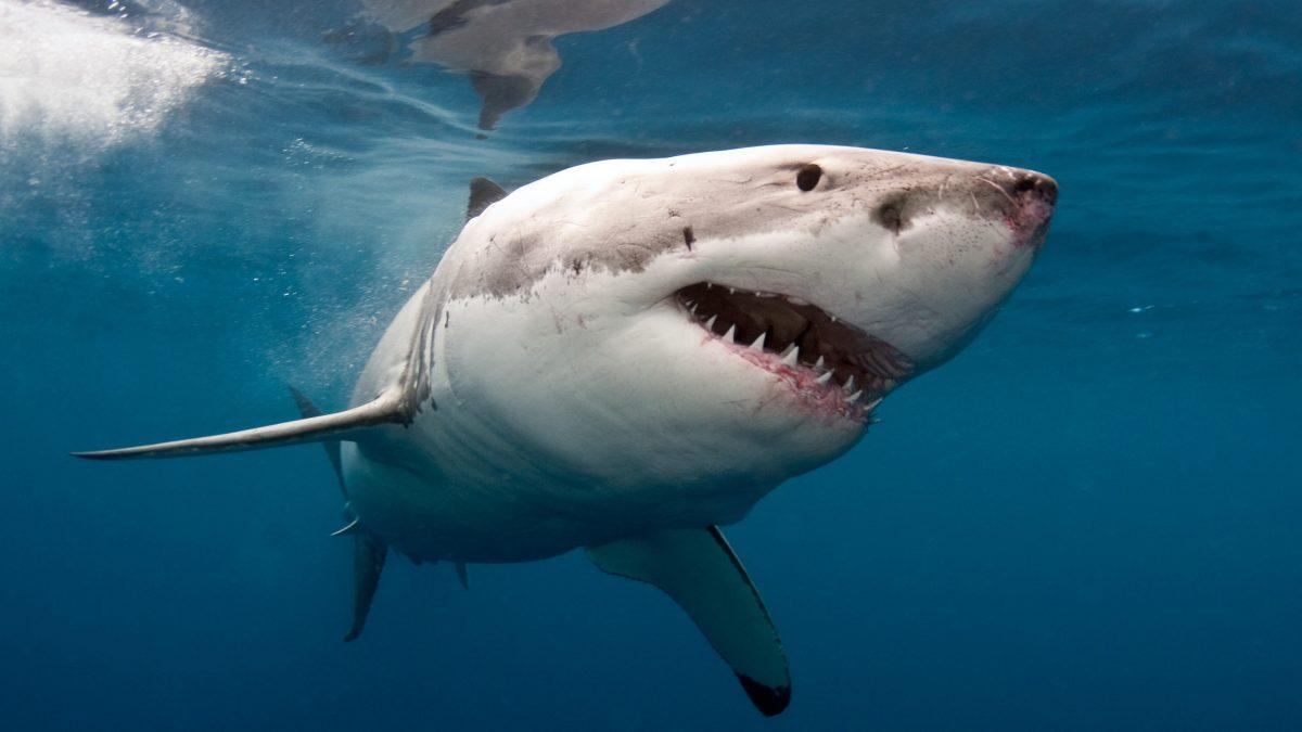 TikTok-Video von riesigem Hai, der Kreuzfahrtschiff umkreist, geht viral