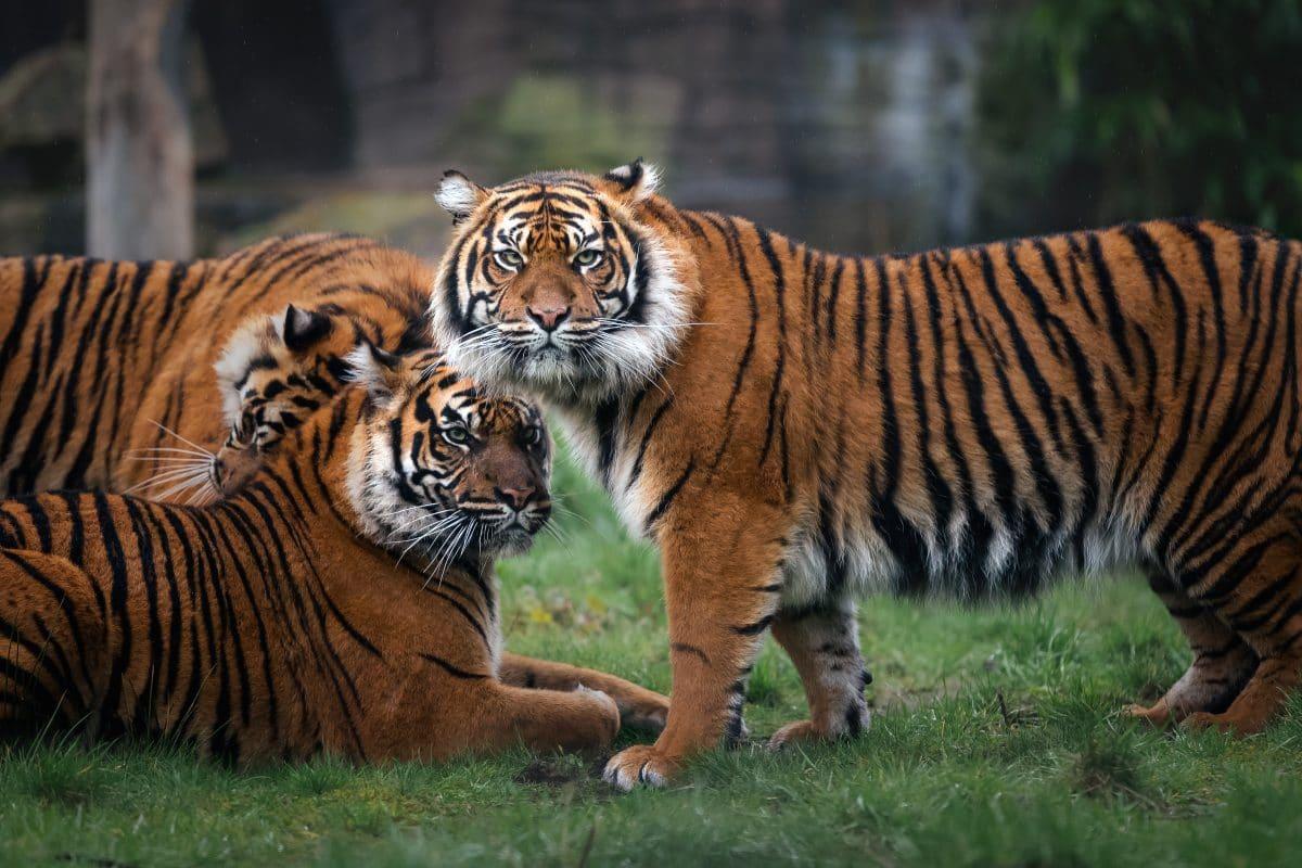 Kalifornischer Zoo impft Tiere gegen Corona