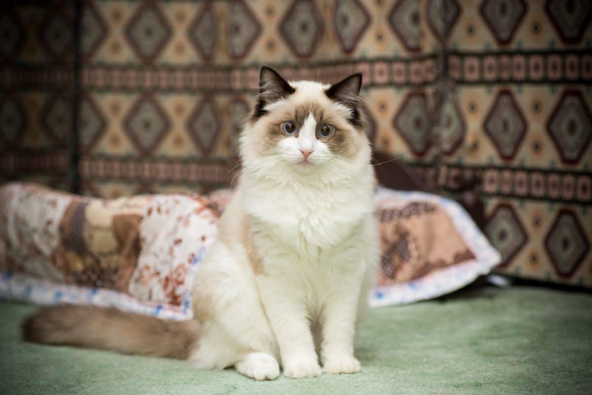 Weltkatzentag: Dies sind die 3 teuersten Katzenrassen