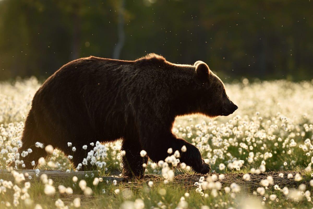 Russischer Politiker verwechselt Mann mit einem Bären und erschießt ihn