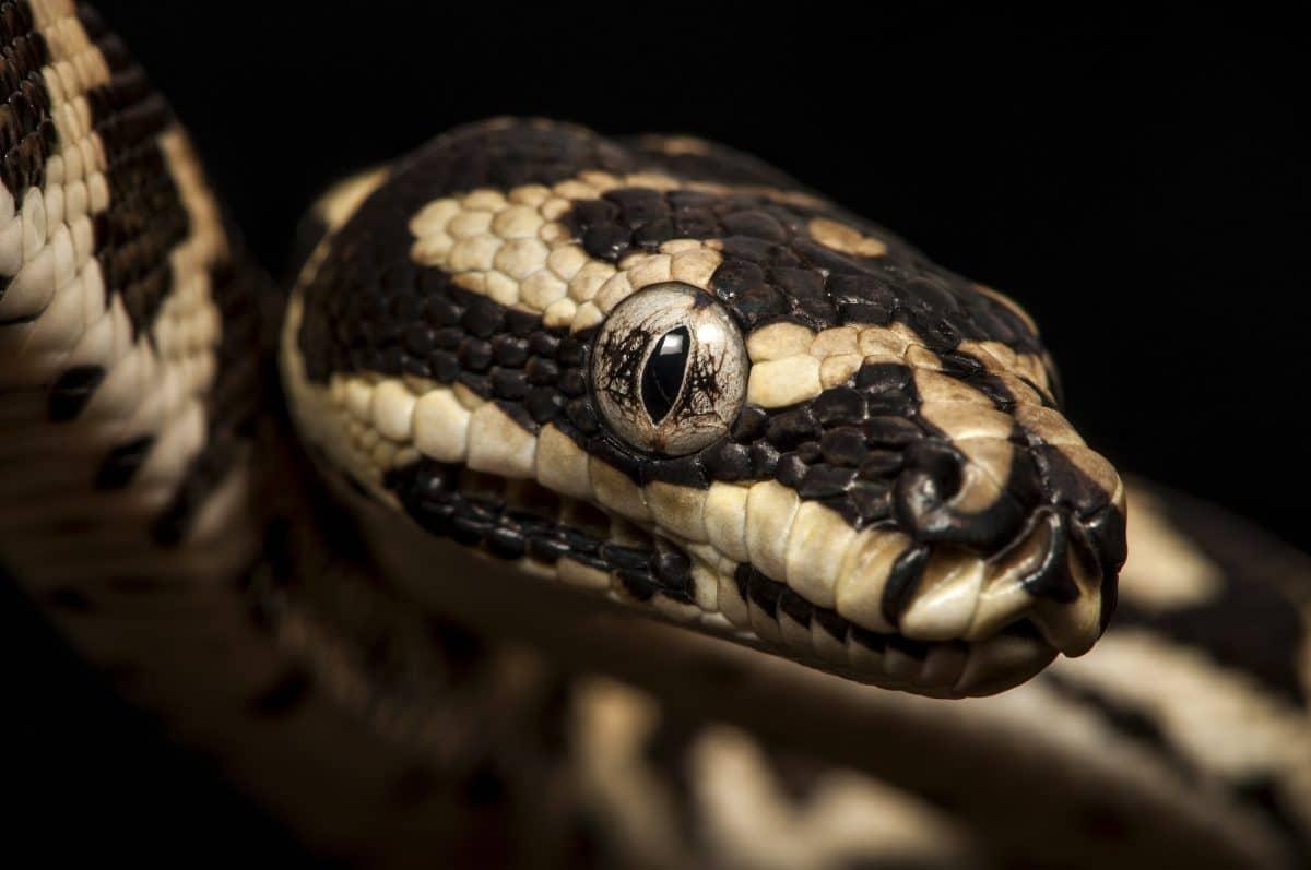 Drei Meter lange Schlange versteckt sich in Supermarkt-Gewürzregal