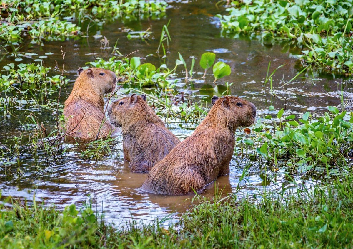 Wasserschweine belagern Luxussiedlung in Argentinien