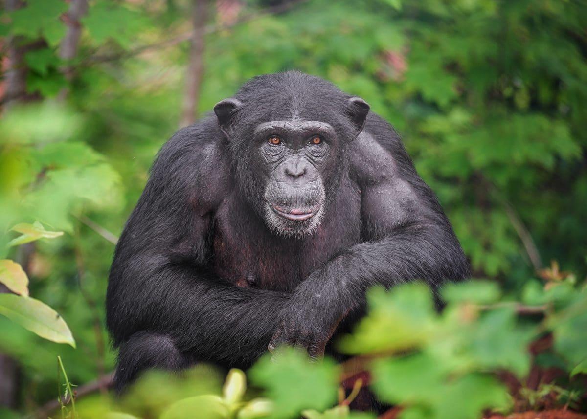 """Frau hat eine """"Affäre"""" mit einem Affen und wird aus dem Zoo verbannt"""
