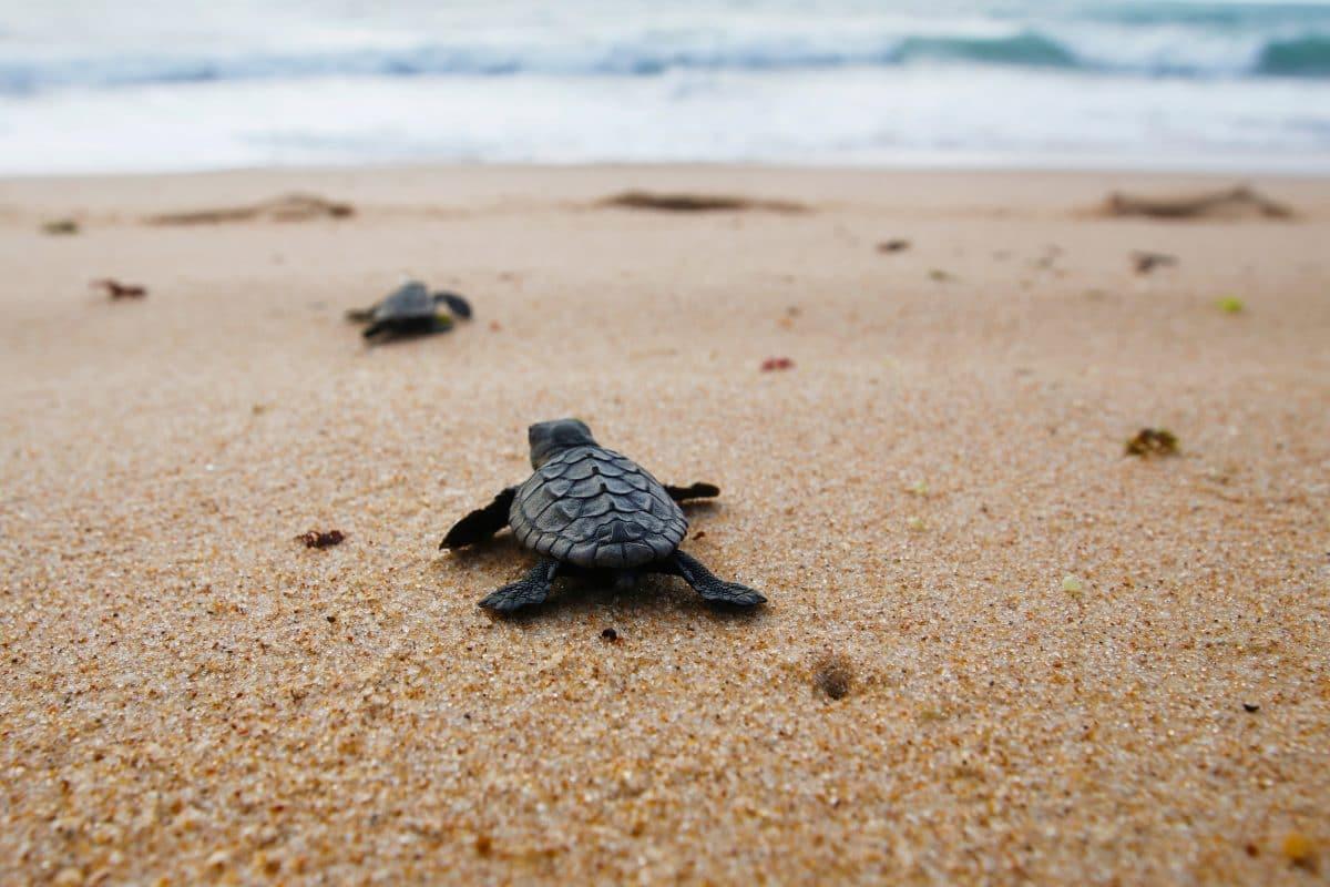 Schildkröten schlüpfen zum ersten Mal am Strand von Jesolo