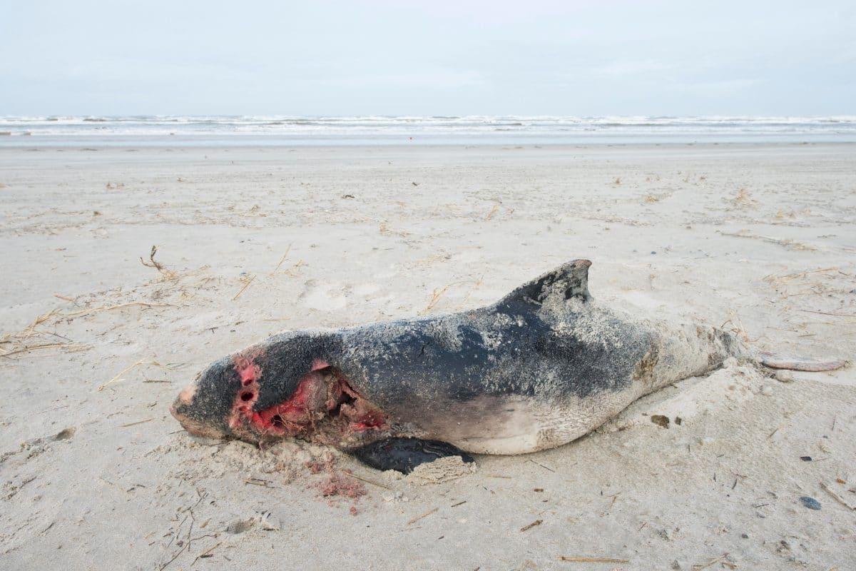 Rätselhaftes Massensterben: 80 tote Schweinswale auf Watteninseln angespült
