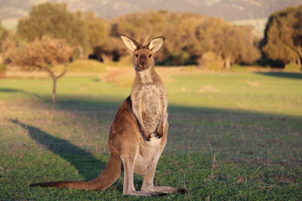 Australien: Zwei Jugendliche prügeln 14 Kängurus tot