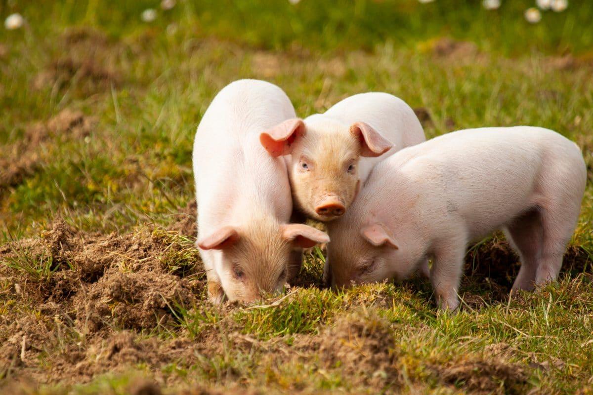 Schweine als Vogelscheuchen? Flughafen startet Pilotprojekt